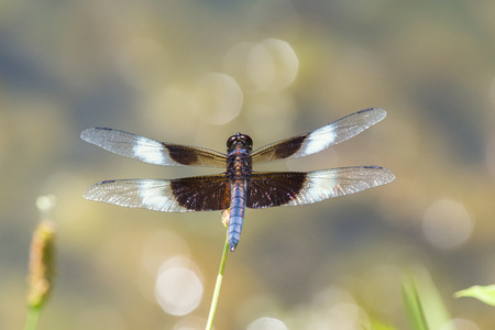 pruinescence: Widow Skimmer dragonfly Libellula luctuosa resting on a wildflower stem in Maryland during the Summer Stock Photo