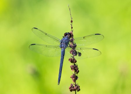 incesta: Slaty Skimmer dragonfly Libellula incesta perching on a wildflower stem in Maryland during the Summer Stock Photo