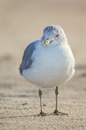 winter urban wildlife: Ring-billed Gulls Larus delawarensis standing on a beach on Assateague Island during the Winter Stock Photo