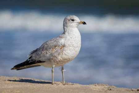 facing right: Ring-billed Gulls Larus delawarensis standing on a beach on Assateague Island during the Winter Stock Photo