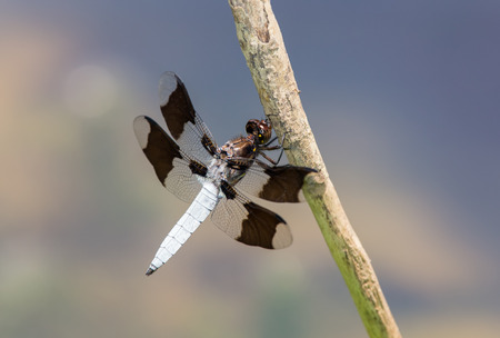 pruinose: Common Whitetail dragonfly Plathemis lydia perching on a twig in Maryland during the Summer