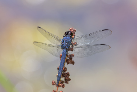 pruinose: Slaty Skimmer dragonfly Libellula incesta perching on a wildflower stem in Maryland during the Summer Stock Photo