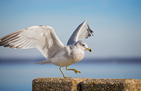 facing right: Ring-billed Gull Larus delawarensis standing by the Choptank River during the Winter Stock Photo