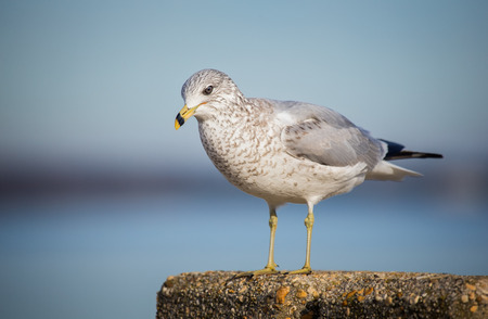 winter urban wildlife: Ring-billed Gull Larus delawarensis standing by the Choptank River during the Winter Stock Photo