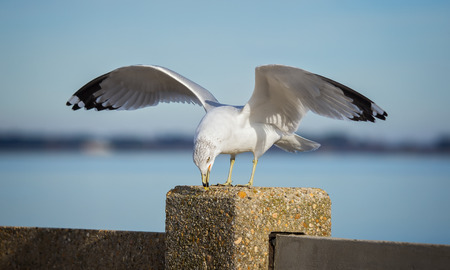winter urban wildlife: Ring-billed Gull Larus delawarensis displaying aggression by the Choptank River during the Winter