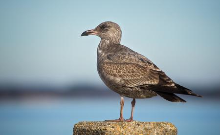 larus: Herring Gull (Larus argentatus) juvenile standing