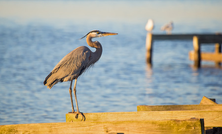 blackwater: Great Blue Heron Ardea herodias perching on a pier in Blackwater National Wildlife Refuge during the Winter Stock Photo