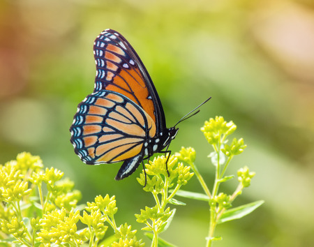 viceroy: Viceroy butterfly Limenitis archippus butterfly resting on wildflowers and vegetation in Maryland during the Summer Stock Photo