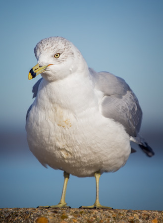 winter urban wildlife: Ring-billed Gull Larus delawarensis fluffing up its feathers during the Winter