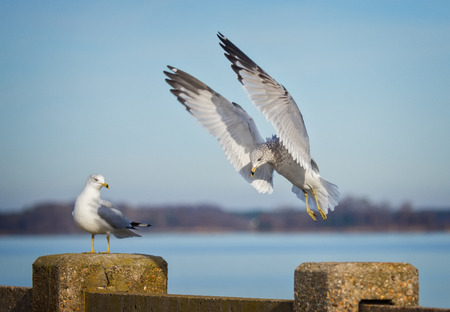 winter urban wildlife: Ring-billed Gull Larus delawarensis in flight over the Choptank River during the Winter