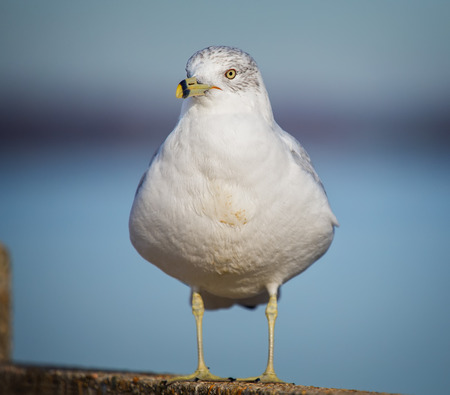 Ring-billed Gull Larus delawarensis standing by the Choptank River during the Winter Stock Photo
