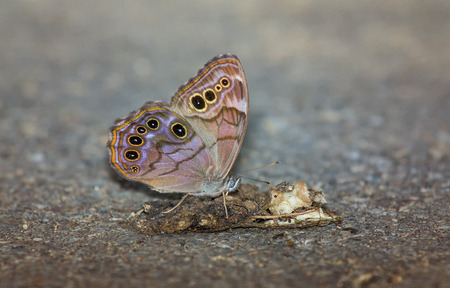 hindwing: Northern Pearly Eye Enodia anthedon butterfly feeding from an owl pellet in Maryland during the Summer Stock Photo