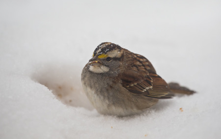 brown throated: White-throated Sparrow Zonotrichia albicollis sitting in the snow in Maryland during the Winter Stock Photo