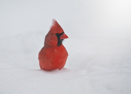 Northern Cardinal Cardinalis cardinalis standing in the snow in Maryland during the Winter
