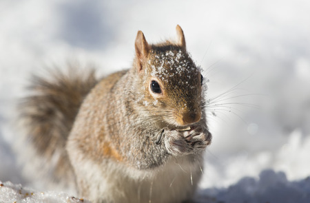 Eastern Gray Squirrel Sciurus carolinensis eating a seed in the snow during the Winter Imagens
