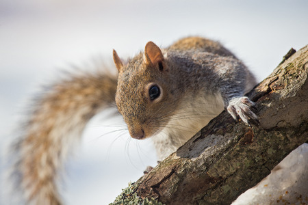winter urban wildlife: Eastern Gray Squirrel Sciurus carolinensis climbing on a tree trunk in woodland during the Winter
