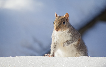 Eastern Gray Squirrel Sciurus carolinensis sitting in the snow during the Winter photo