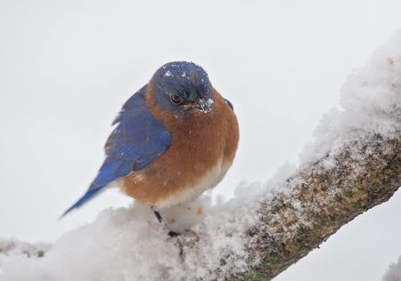 bluebird: Eastern Bluebird Sialia sialis perching on a branch in a snowstorm during the Winter