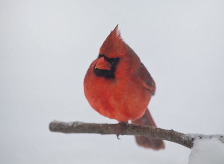 Northern Cardinal Cardinalis perching on a twig during a snowstorm in the the Winter photo