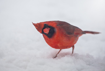 Northern Cardinal Cardinalis cardinalis standing in the snow in Maryland during the Winter photo
