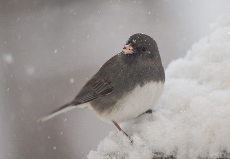 Dark-eyed Junco bird Junco hyemalis perching on a branch during a snowstorm in the Winter photo