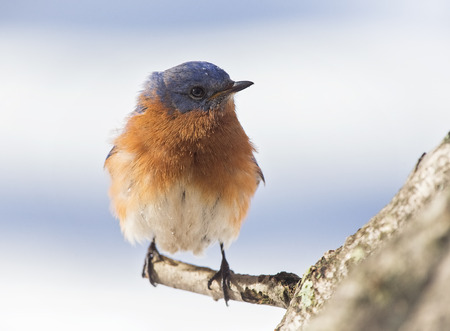 bluebird: Eastern Bluebird Sialia sialis perching on a branch during the Winter Stock Photo