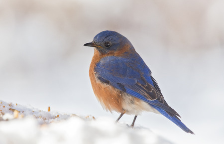 bluebird: Eastern Bluebird Sialia sialis standing in the snow in Maryland during the Winter Stock Photo
