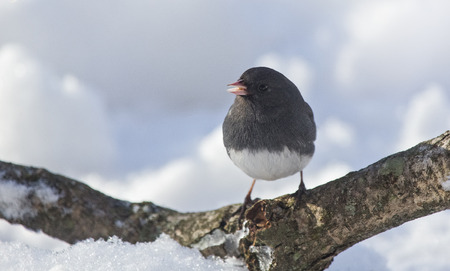Dark-eyed Junco bird Junco hyemalis perching on a branch during the Winter photo