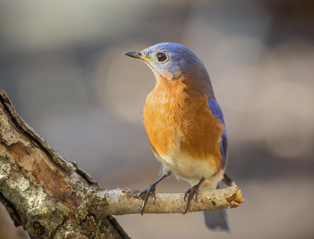 bluebird: Eastern Bluebird Sialia sialis perching on a twig during the Winter