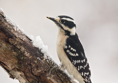 downy woodpecker: Downy Woodpecker Picoides pubescens perching on a branch during the Winter Stock Photo