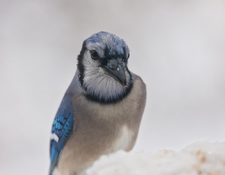 winter urban wildlife: Blue Jay Cyanocitta cristata standing in snow in Maryland during the Winter Stock Photo