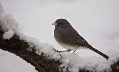 winter urban wildlife: Dark-eyed Junco bird Junco hyemalis perching on a branch during a snowstorm in the Winter