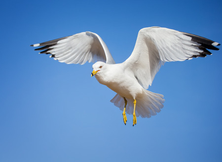 winter urban wildlife: Ring-billed Gull Larus delawarensis hovering in flight over the Chesapeake Bay during the Winter