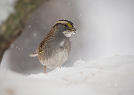 brown throated: White-throated Sparrow Zonotrichia albicollis standing in the snow in Maryland during the Winter