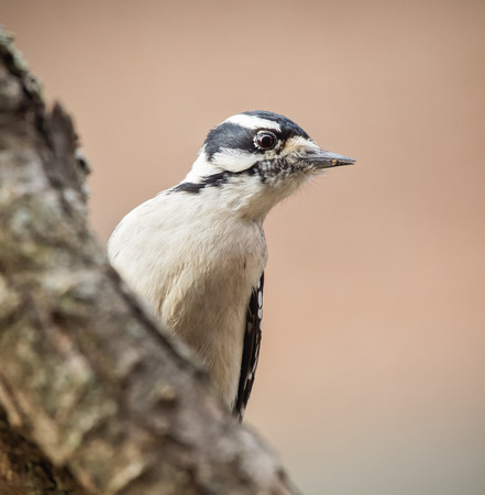 winter urban wildlife: Downy Woodpecker Picoides pubescens perching on a branch during the Winter Stock Photo