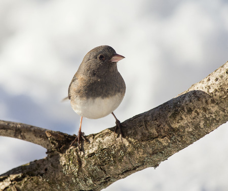 winter urban wildlife: Dark-eyed Junco bird Junco hyemalis perching on a branch during the Winter Stock Photo