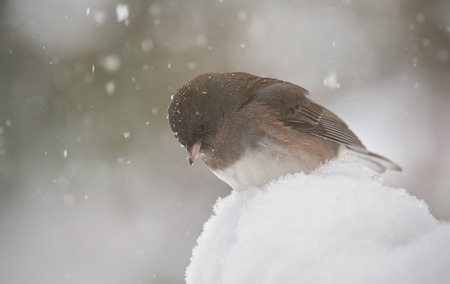grey eyed: Dark-eyed Junco bird Junco hyemalis standing in the snow in Maryland during the Winter Stock Photo