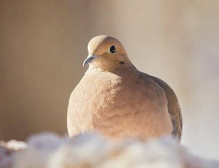 turtle dove: Mourning Dove Zenaida macroura resting in the snow in Maryland during the Winter