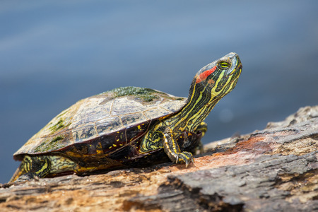 Red-eared Slider pond turtle Trachemys scripta elegans basking on a log in Maryland during the Spring