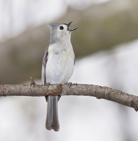 Tufted Titmouse Baeolophus bicolor perching on a branch and singing during the Spring photo