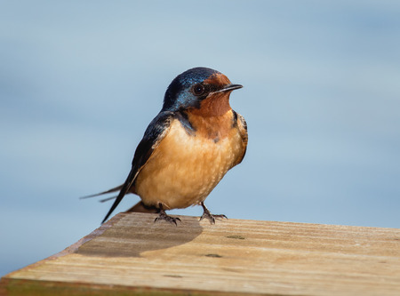 barn swallow: Barn Swallow Hirundo rustica perching on a fence in Maryland during the Spring