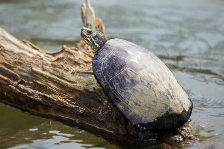 basking: Painted Turtle Chrysemys picta basking in the sun on a log in Maryland during the Spring Stock Photo