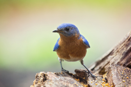 eastern bluebird: Eastern Bluebird Sialia sialis perching on a tree stump in Maryland during the Spring Stock Photo