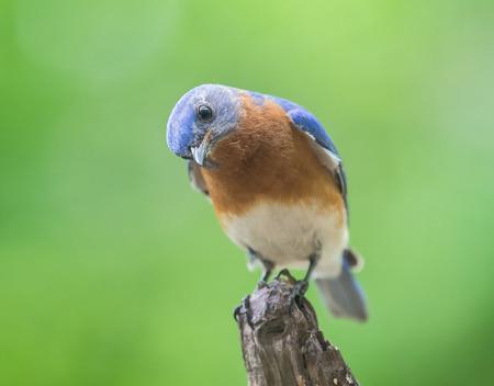 missouri wildlife: Eastern Bluebird Sialia sialis perching on a tree stump in Maryland during the Spring Stock Photo