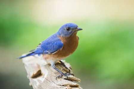 Eastern Bluebird Sialia sialis perching on a branch in Maryland during the Spring Archivio Fotografico