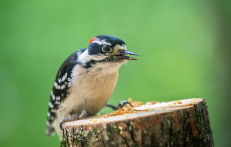 downy woodpecker: Downy Woodpecker Picoides pubescens perching on a tree stump eating suet Stock Photo