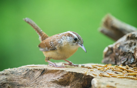 urban wildlife: Carolina Wren Thryothorus ludovicianus perching on a log and eating worms during the Spring