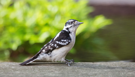 urban wildlife: Downy Woodpecker Picoides pubescens perching on a fence during the Spring Stock Photo