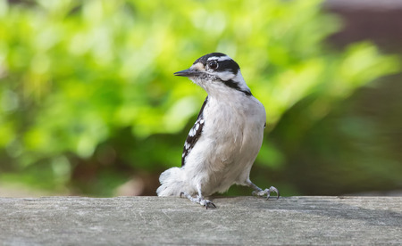 downy woodpecker: Downy Woodpecker Picoides pubescens perching on a fence during the Spring Stock Photo