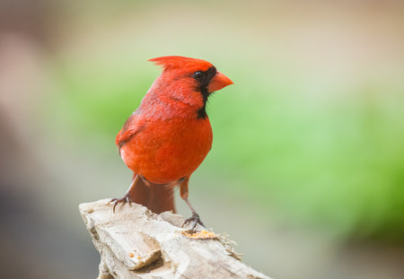Northern Cardinal Cardinalis cardinalis perching on a log in Maryland during the Spring Stock Photo